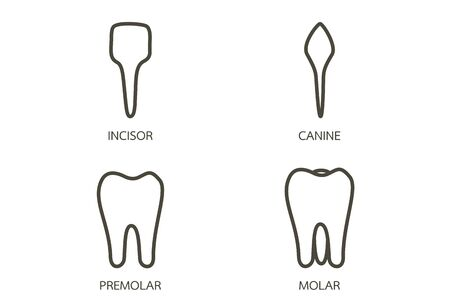 type of tooth ( incisor, canine, premolar, molar ) - dental cartoon vector outline flat style cute character for design