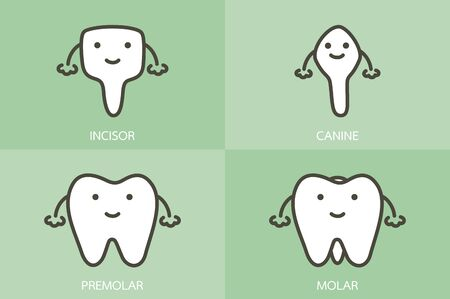 type of tooth ( incisor, canine, premolar, molar ) - dental cartoon vector flat style cute character for design Фото со стока - 140610366