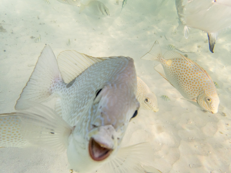 rabbitfish: varieties of fishes on sandy seabed Stock Photo