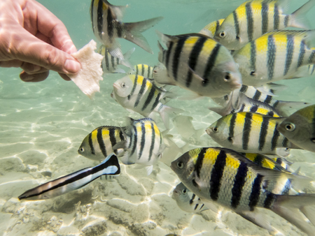 wrasse: feeding varieties of fishes on sandy seabed