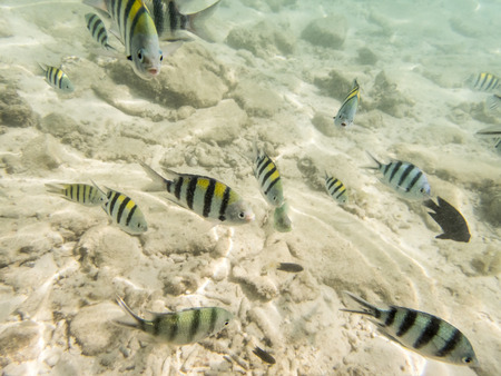 damsel: varieties of fishes on sandy seabed Stock Photo