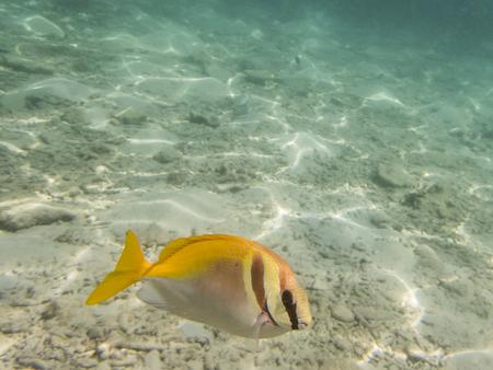 rabbitfish: fish on sandy seabed
