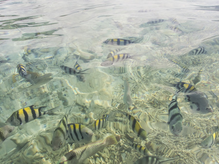 rabbitfish: varieties of fishes on water surface