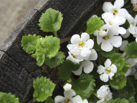 Delicate white flowers in an old wooden barrel, wet with raindrops