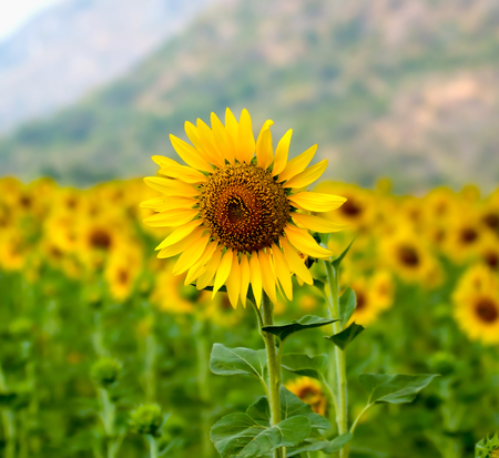 Sunflowers,Sunflowers blooming against a bright sky,Sunflowers,Sunflowers blooming ,beautiful sunflowers,big sunflowers ,Unseen Thailand flowers,yellows flowers