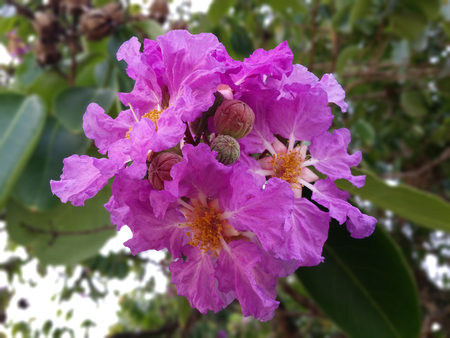occur: Crepe myrtles are chiefly known for their colorful and long-lasting flowers which occur in summer