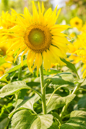 sunflower yellow color in the forest Stock Photo