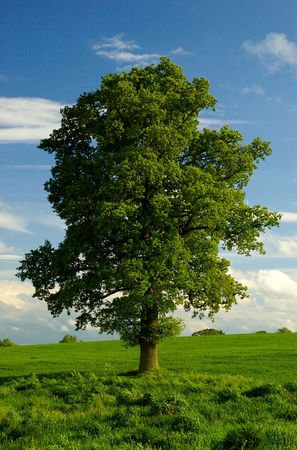 english oak: The Oak