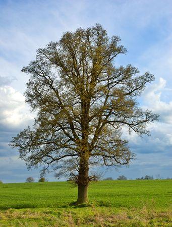 english oak: A beautiful lone English oak tree in springtime against a dramatic sky