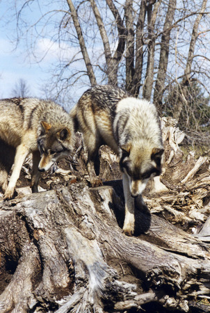 Two wolves on the stump