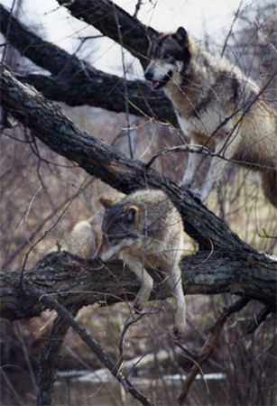 Wolves In Tree