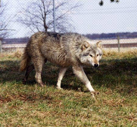 Lone Wolf Standard-Bild