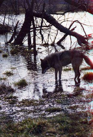 Wolf on the water Standard-Bild