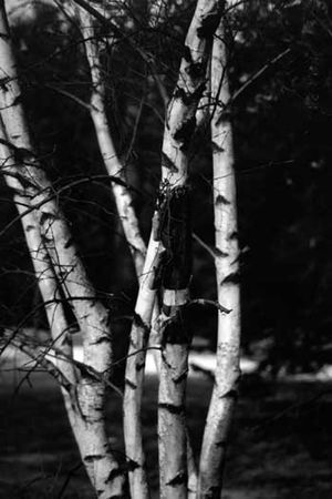 Birch tree black and white photo Standard-Bild