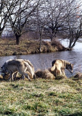 Wolves by the lake