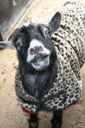 Stubby the pet goat Standard-Bild