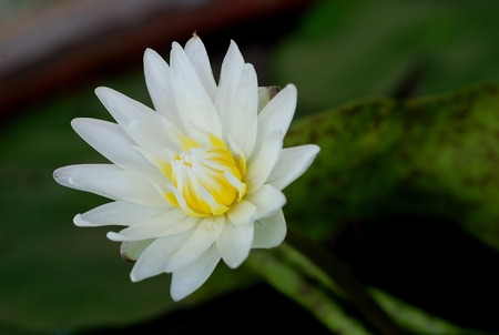 White lotus on green background  photo