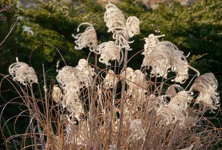 in december: Ornamental grass in December Stock Photo