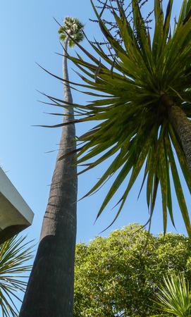 bole: Tall palm trees at sunny coast of California