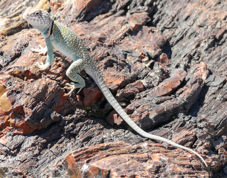 fossils: Lizard on fossils at Petrified Forest in Arizona