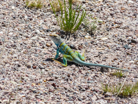 petrified: Green Lizard at Petrified Forest National Park