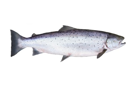 photo of salmon on white background Banque d'images