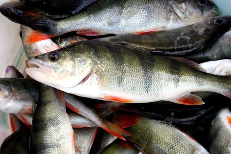 fishy: freshly caught perches in lake Stock Photo