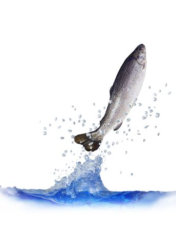 jumping out from water on white background trout photo