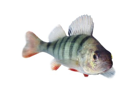 perch isolated on white background Stock Photo - 5227327