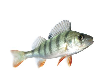 white perch:  perch isolated on white background