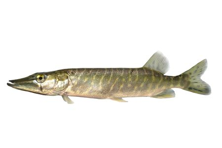 pike: long pike on white background Stock Photo