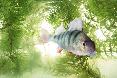 predatory: swimming in water predatory perch