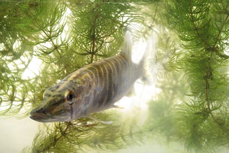 swimming in water predatory luce