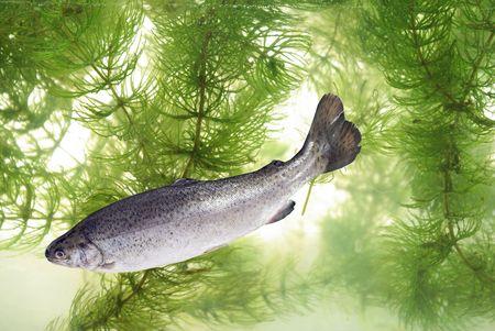 trucha: de nataci�n en el fondo de las plantas de la trucha Foto de archivo