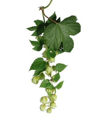 bitterness: the cone of hop from leaves on white background