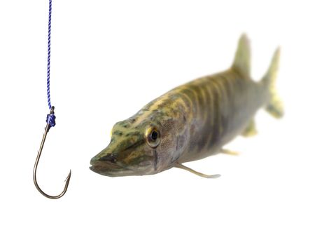 pickerel: swimming up to empty metal hook pike Stock Photo