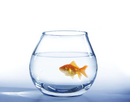 gold fish bowl: small gold fish in round glass aquarium