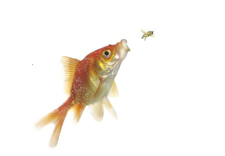 the hunting of gold fish on fly on white background Stock Photo - 5483654