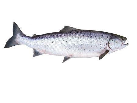 photo of big salmon on white background