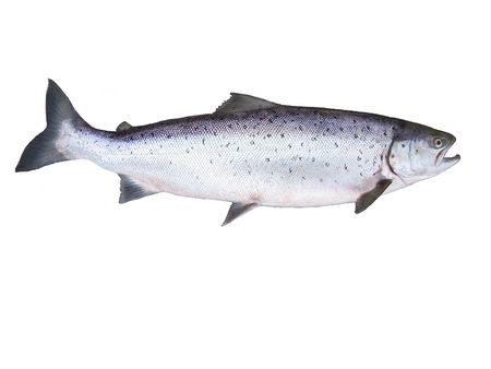 lax:  photo of big salmon on white background