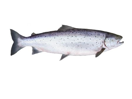 photo of fish salmon on white background