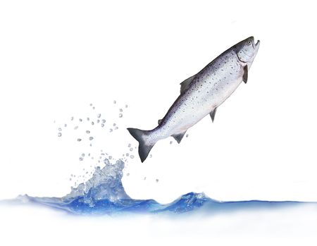 salmon fish: jumping out from water salmon on white background
