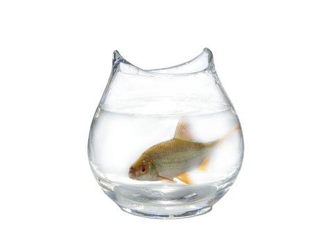 rutilus: for large roach in glass aquarium