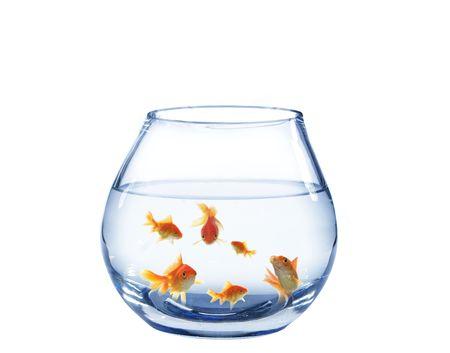 buble: shoal of gold fish in glass aquarium