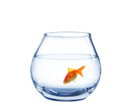 gold fish in spherical aquarium on white background photo