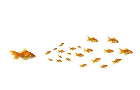 gold chasing on white background shoal fish photo