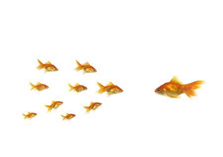 flowing goldfish opposite shoal on white background photo