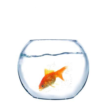 gold fish in aquarium on white background photo