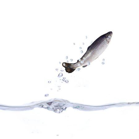 sautant hors de l'eau sur fond blanc truite