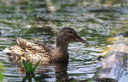 �ber Wasser: die weibliche Ente von jung flott duckling
